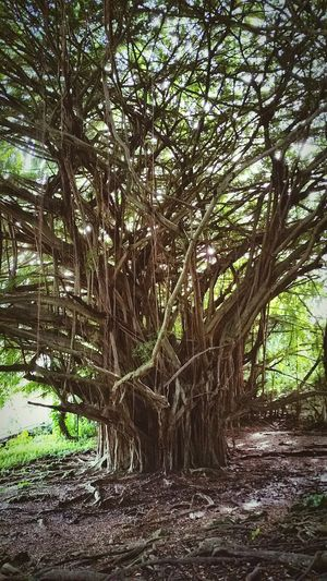 Nature Tree Growth Beauty In Nature No People Tranquility Outdoors Day Sky Tree Trunk Hawaii Big Island Of Hawaii Lush - Description Banyan Tree Grove Rainbow Falls Hawaii Tree Tourism Landscape
