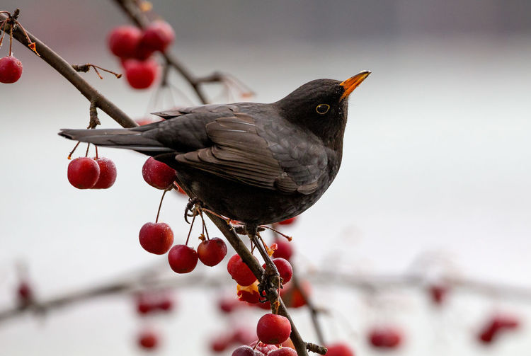 Close-up of bird perching on red berries