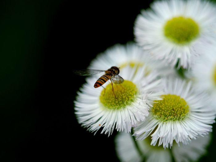 Flower Flowering Plant Insect Invertebrate Fragility Animal Themes Beauty In Nature Bee Petal