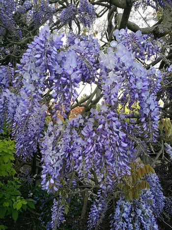 Wisteria Wisteria Flower Wisteria Flowers Wisteria In Full Bloom Flower Growth Blossom Branch Beauty In Nature Nature Purple Scented Springtime Blooming Outdoors Day Freshness Spring Flowers Flowers Spring Flowers,Plants & Garden Smartphone Photography HuaweiP9 Nature Photography Spring Day
