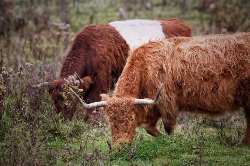 Highland Cattle Lakenvelder On Request Almost Done. Cleaning up those selfie takers... F*ck Your Selfie