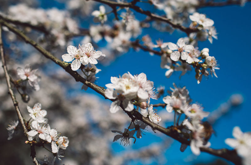 Flowering Plant Flower Plant Fragility Beauty In Nature Vulnerability  Freshness Growth Blossom Tree Springtime Close-up Branch Nature Focus On Foreground No People Day White Color Petal Inflorescence Flower Head Cherry Blossom Pollen Cherry Tree Outdoors