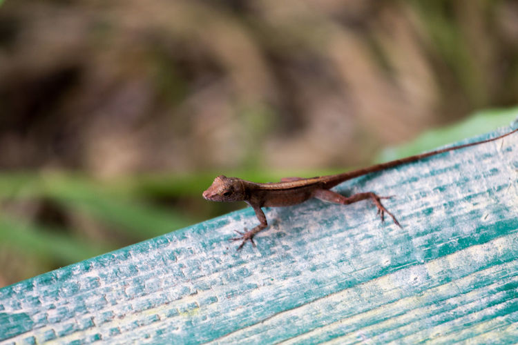 Animal Themes Animal Wildlife Animals In The Wild Bokeh Bokeh Photography Bokehlicious Chameleon Close-up Day Insect Lizard Lizard On A Leaf Lizzard Nature No People One Animal Outdoors Reptile
