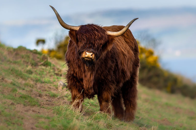 Highland cow standing in a field