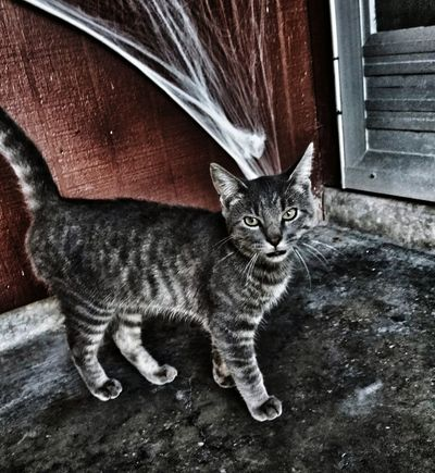 Domestic Cat One Animal Pets Animal Themes Domestic Animals Looking At Camera Feline Sitting Portrait Mammal No People Day Close-up Outdoors Abandoned Cat Male Cat Homeless Cats Halloweentime Spiderwebs Robstown Texas