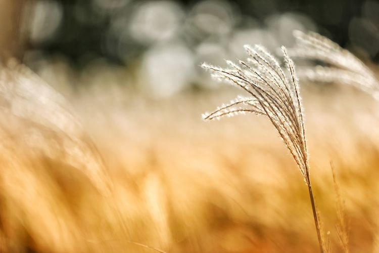 올해의 일몰이 시작되는 시기 . . #하루한컷 #하늘공원 #억새 #가을 #5DMARK4 #새아빠백통 #EF70200F28LIIISUSM Rye - Grain Wheat Cereal Plant Rural Scene Backgrounds Yellow Agriculture Gold Colored Wholegrain Field