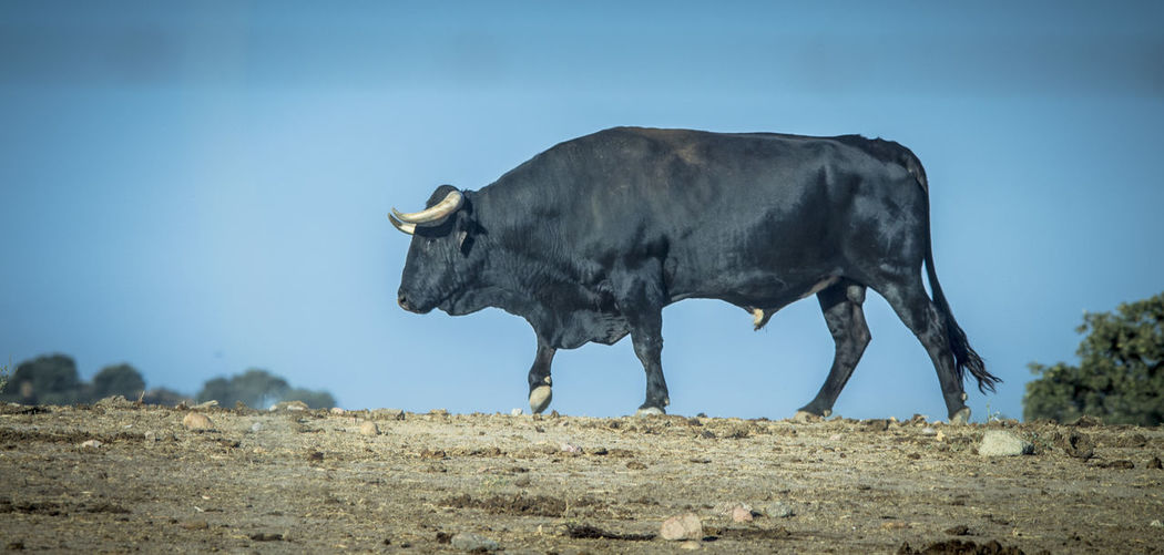 Cow on field against clear sky