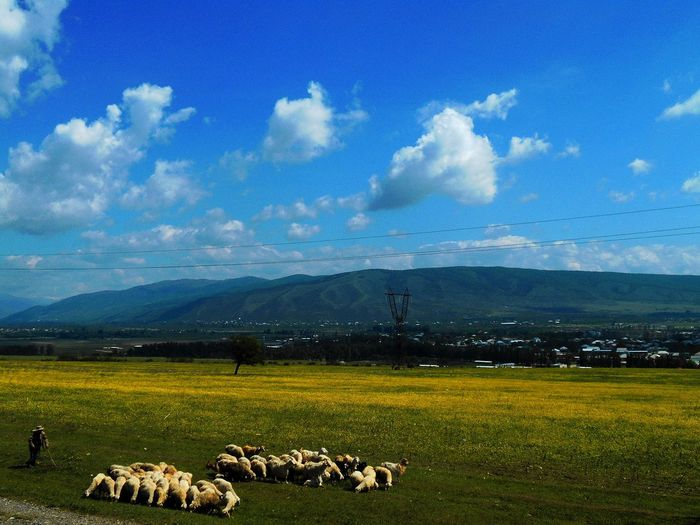 Animal Themes Beauty In Nature Cloud - Sky Cow Day Domestic Animals Field Flock Of Sheep Grass Grazing Green Color Landscape Large Group Of Animals Livestock Mammal Mountain Nature No People Outdoors Pasture Scenics Sheep Sky Tranquil Scene Tranquility
