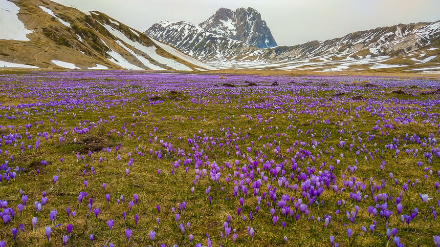 Fantastic view of Campo Imperatore with flowering of crocus vernus, Gran Sasso, Abruzzo, Italy Campo Imperatore Gran Sasso D'Italia Gran Sasso Abruzzo Gran Sasso E Monti Della Laga National Park Italy Crocus Crocus Flower Flowers Flowering Plant Flowering Mountain Nature Landscape Violet Travel Destinations Travel Wallpaper Hiking Altitude Wild Wildlife & Nature Apennines Wanderlust Card Background Beauty In Nature Plant Flower Land Scenics - Nature Growth Environment Tranquil Scene Field Tranquility Purple Sky Freshness No People Day Mountain Range Outdoors Flowerbed