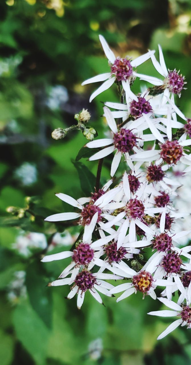 flower, flowering plant, freshness, plant, growth, fragility, beauty in nature, vulnerability, close-up, petal, flower head, nature, inflorescence, day, selective focus, no people, focus on foreground, pollen, blossom, white color, outdoors, purple, springtime, bunch of flowers