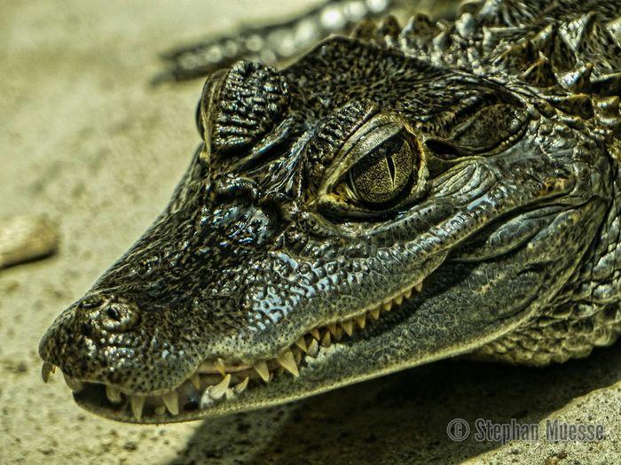 Schönheit der Natur One Animal Animals In The Wild Wildlife Zoology Animal Selfmade Brillenkaiman Panzerechse Kaiman