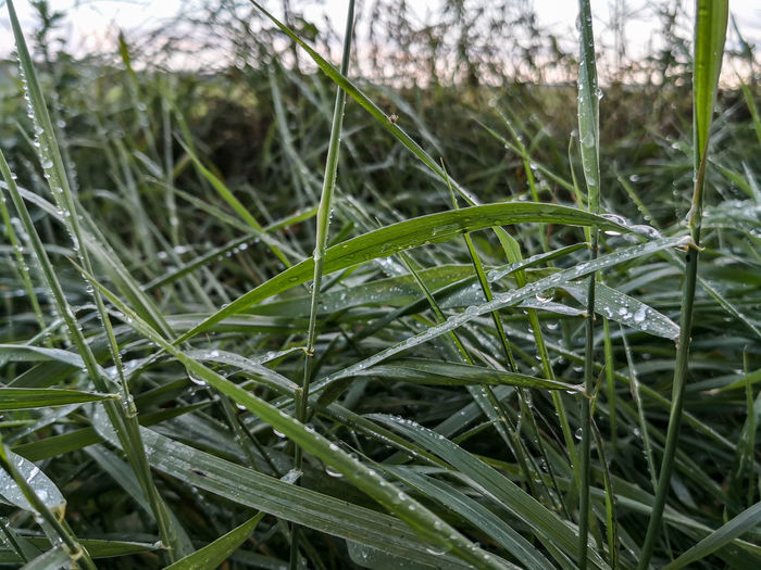 Close-up of wet grass during winter