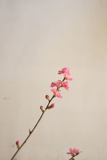 peach blossom Indoors  Flower Growth Nature Peach Blossom Pink Color Beauty In Nature Tranquil Scene Tranquility Day Japan