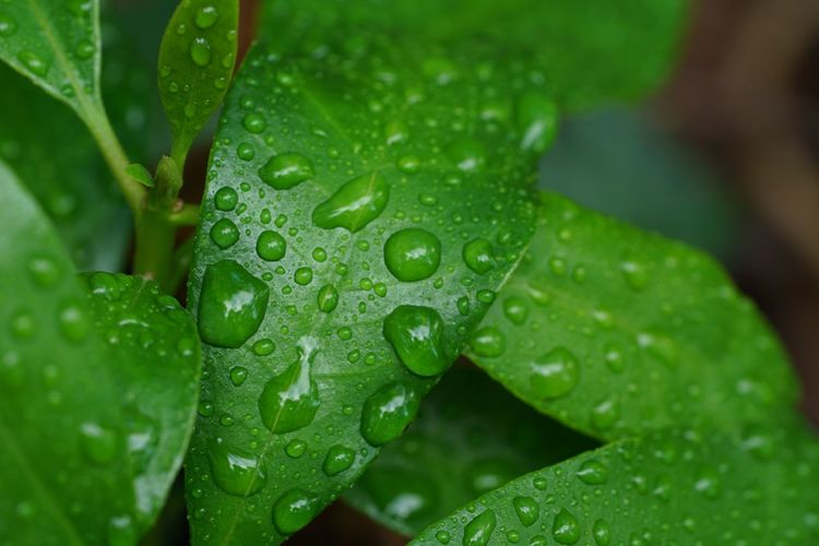 Green Color Backgrounds After The Rain Green Leaves Drop Wet Water Leaf Plant Part Green Color Growth Freshness Nature Close-up Beauty In Nature Rainy Season Purity Rain Focus On Foreground Plant No People Outdoors RainDrop Day