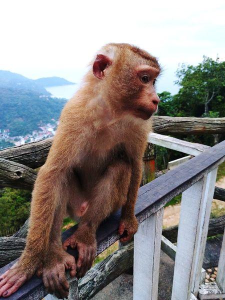 Monkey Monkey Mammal Primate Ape Animals In The Wild Outdoors Nature No People Close-up Big Buddha Phuket Thailand Aseantravel ASIA Asean EyeEmNewHere