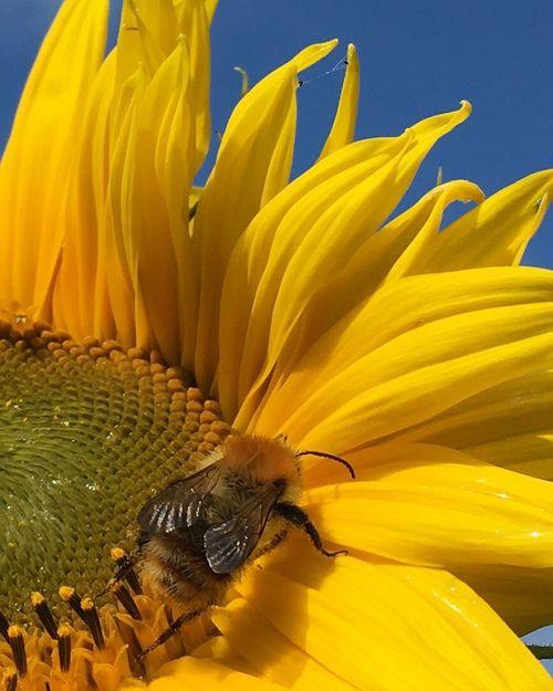 Sunflower Honey Eyeemphoto IPhoneography Beefood Meadowflowers Garden Photography Summer HoneyBee Flower Workerbee Bee Honey Bee Garden Sunflower 🌻 Sunflower Sunflowerlovers Sunflowers🌻 Maximum Closeness