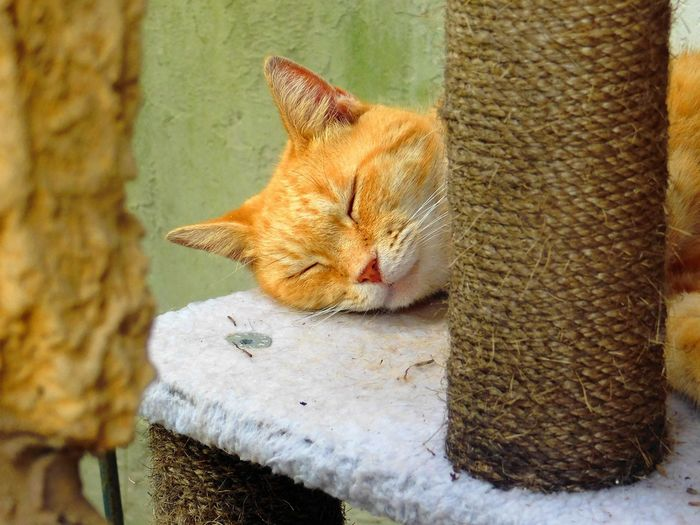 Close-Up Of Ginger Cat Sleeping On Scratching Post