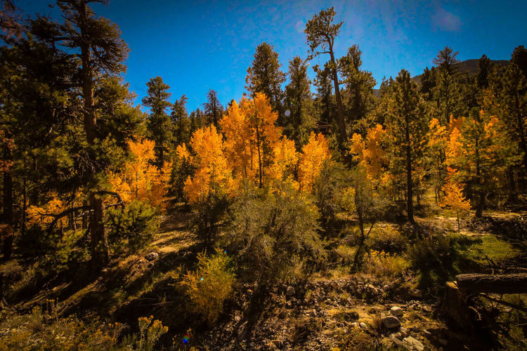 Autumn Mt Charleston Nevada Vegas  Lost In The Landscape Pine Tree Autumn🍁🍁🍁 Change Forest Mountain Sky Day Flower Landscape Pinaceae Tranquility Plant Scenics Outdoors Growth Beauty In Nature Backgrounds Tree Area Sunlight