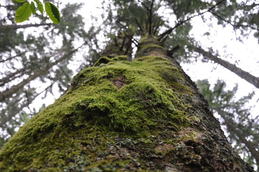 Abetone Bark Beauty In Nature Branch Day Focus On Foreground Forest Green Color Growth Leaf Low Angle View Moss Muschio Nature No People Outdoors Rock - Object Sky Textured  Tranquility Tree Tree Tree Trunk Trees Twins