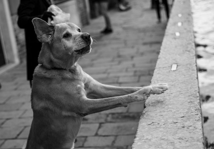 Angry Animal Themes Bark Barking Black And White Dog Domestic Animals Ears Jumping Mammal Outdoors Pets Street Streetphotography Venice