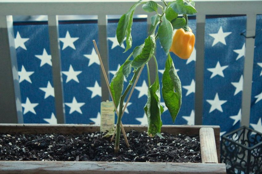Patriotism Flag Growth Leaf No People Blue Day Plant Indoors  Close-up Yellow Pepper Garden Vegetable Yellow Vegetable Nature Stars And Stripes
