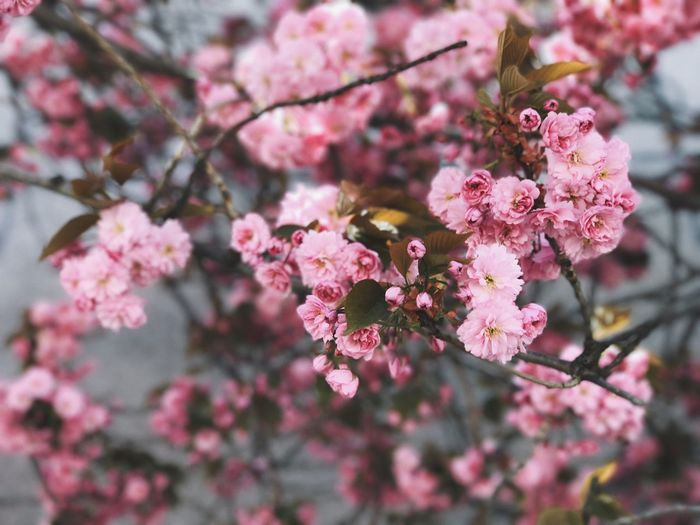 Flower Fragility Growth Beauty In Nature Nature Freshness Blossom Petal Pink Color Springtime Branch No People Botany Outdoors Tree Flower Head Day Selective Focus Close-up Blooming