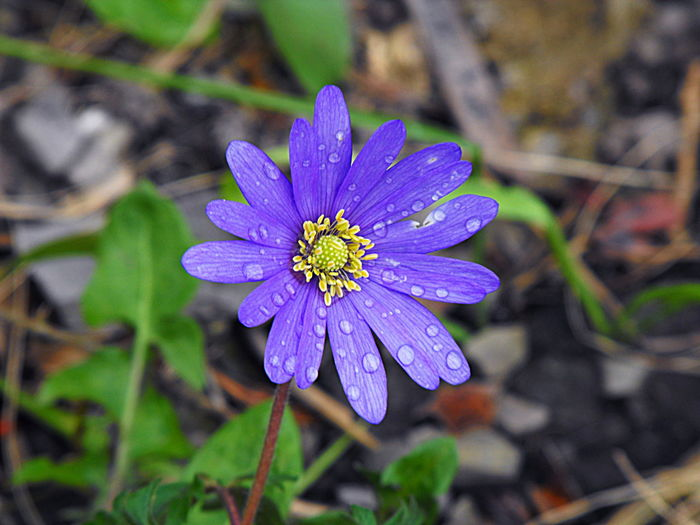 A purple spring flower with water drops, close up Beauty In Nature Blooming Blue Close-up Day Dew Drops Flower Flower Head Fragility Freshness Garden Growth Nature No People Outdoors Petal Plant Purple Raindrops Spring Flowers Wildflowers Wildflowers In Bloom печоночница