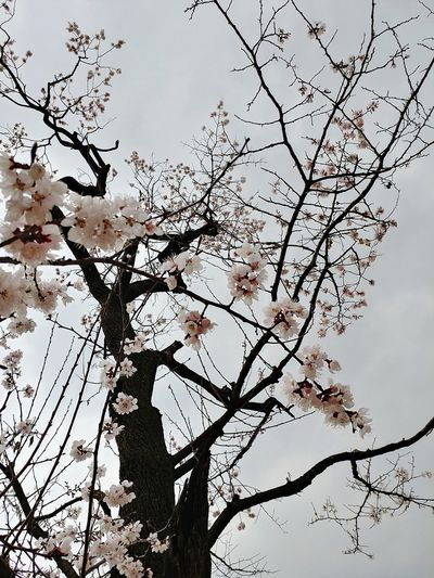 Nature Tree Branch Low Angle View Sky Bird Springtime No People Outdoors Day Growth Beauty In Nature Close-up Backgrounds Cherry Blossoms Bongeunsa Seoul, Korea V20