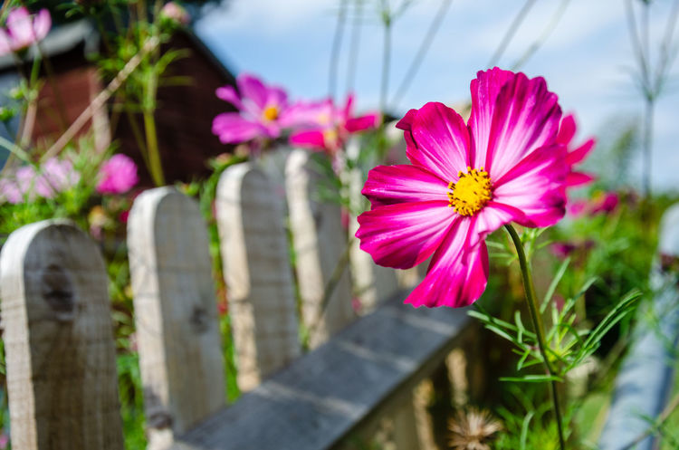Cosmos flowering in a residential garden. Pink Wooden Fence Asteraceae Beauty In Nature Close-up Cosmos Flower Fence Flower Flower Head Flowering Plant Fragility Freshness Garden No People Outdoors Petal Pink Color Plant Vulnerability