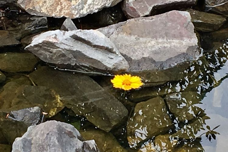 Lost Flower Yellow Flower Water Nature No People Outdoors Day Close-up Beauty In Nature