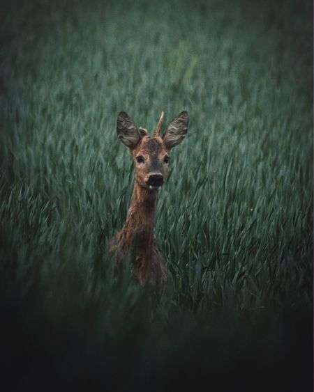 Portrait of a roa deer