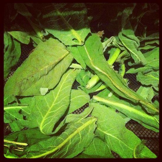 Dehydrating Mullein leaf!