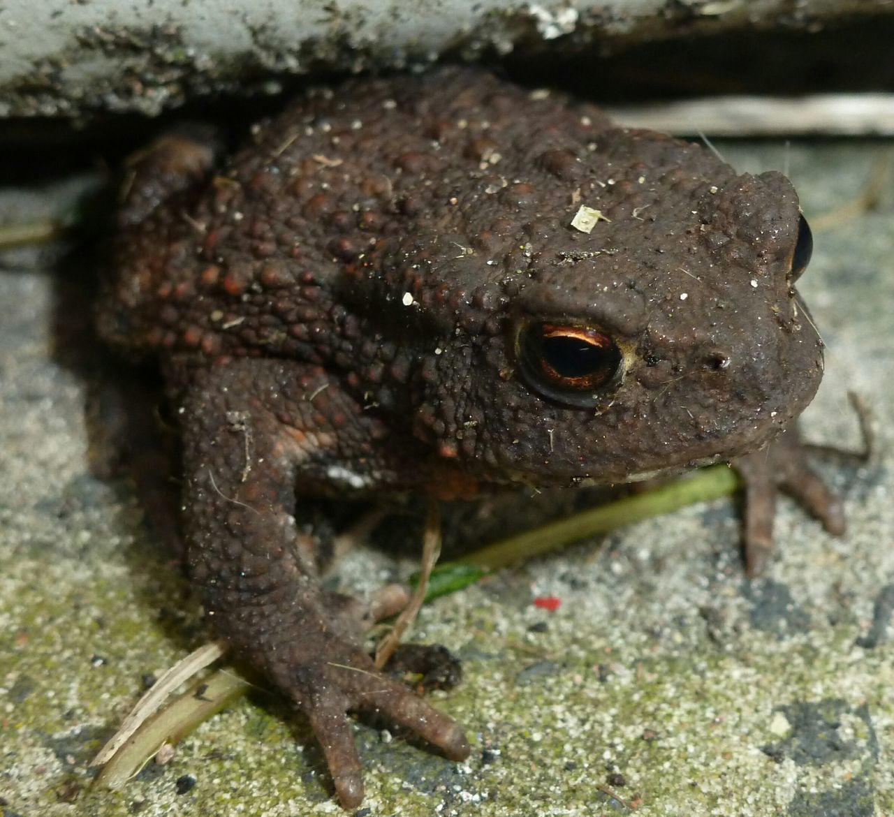 one animal, animal wildlife, animals in the wild, close-up, vertebrate, no people, day, amphibian, nature, focus on foreground, frog, animal body part, outdoors, selective focus, solid, portrait, animal eye, marine