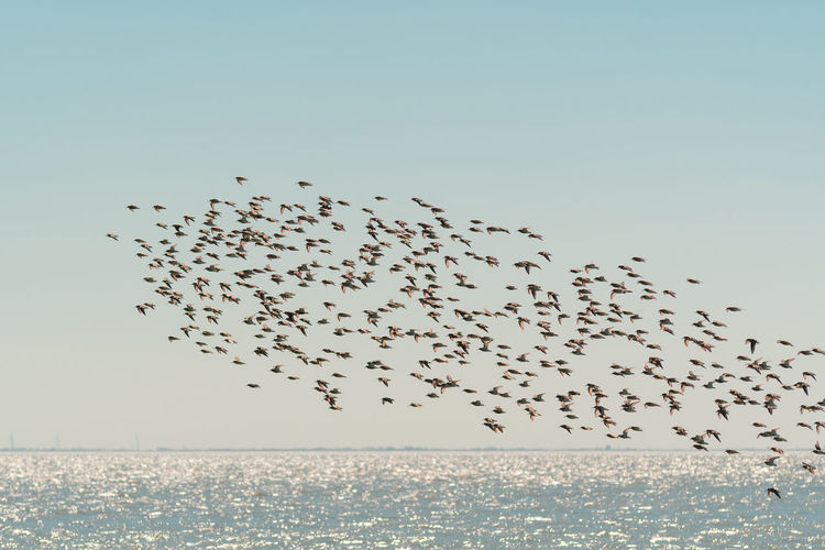 Flock of sandpiper birds flying over sea against clear sky