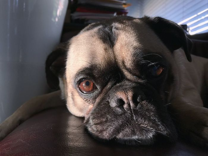 Pets Dog Domestic Animals Animal Themes One Animal Indoors  Portrait Looking At Camera Close-up Home Interior No People Day Pug Los Angeles, California Eyes Cute Puppy Dog Love Dog❤ Dogs Of EyeEm Cute Pets