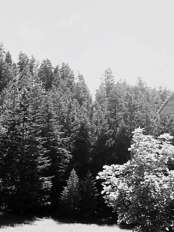Tree Nature Forest No People Pine Tree Tranquility Growth Tranquil Scene Beauty In Nature Cold Temperature Day Outdoors Scenics Winter Snow Landscape Clear Sky Sky