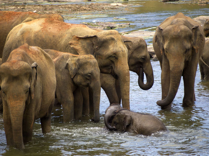 African Elephant Animal Animal Family Animal Wildlife Animals In The Wild Asian Elephant Day Elephant Elephant Calf Elephant Orphanage Indian Elephant Mammal No People Outdoors Sri Lanka Togetherness Travel Travel Destinations Travel Photography Water Young Animal