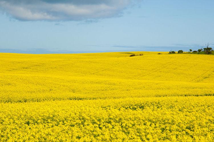 Rapeseed Field in the Mid West Rapeseed Mid West Western Australia Flower Field Yellow Farm Oilseed Rape Agriculture