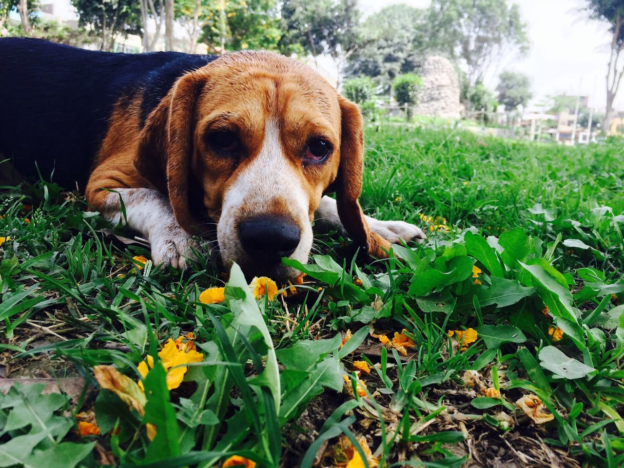 dog, one animal, pets, animal themes, domestic animals, mammal, grass, day, no people, looking at camera, outdoors, nature, close-up, portrait, beagle