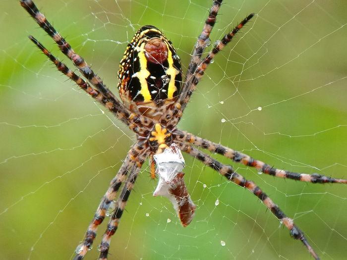 spider Macro Photography Macro_collection Macro Beauty Macro Nature Animalia Arthropoda Arachinida Araneae Spider Web Abdomen Climbing Animal Leg Web Insect Spider Web Spider Survival Intricacy Close-up