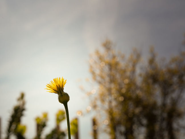 Beauty In Nature Close-up Day Flower Flower Head Flowering Plant Focus On Foreground Fragility Freshness Growth Inflorescence Nature No People Outdoors Petal Plant Plant Stem Sepal Sky Springtime Vulnerability  Yellow The Great Outdoors - 2018 EyeEm Awards