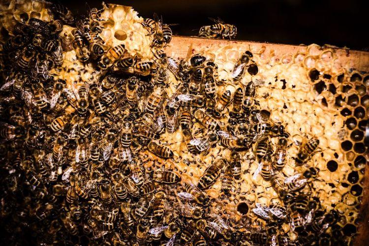 Neles Bienchen - Part 1 Biene Bienen  Bee Bees Bees And Honey Honey HoneyBee Honey Bees  Waabe Bienenwabe Yellow Close-up Tiere Animals Life