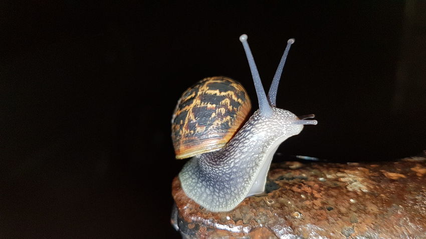 Nature Snail Animal Wildlife EyeEm Selects Animal Themes Black Background No People Disguise Close-up Day