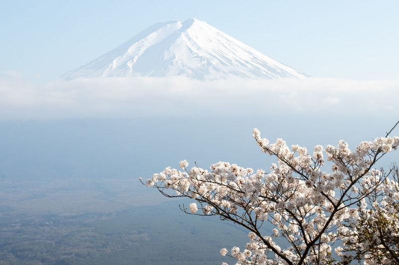 Cherry Blossoms Cloud Japan Kawaguchiko Mountain Fuji Mt.Fuji Sakura Background Beauty In Nature Blooming Blossom Blue Sky Branch Flower Freshness Fuji Landscape Mountain Nature Outdoors Sakura Blossom Scenics Sky Spring Tree