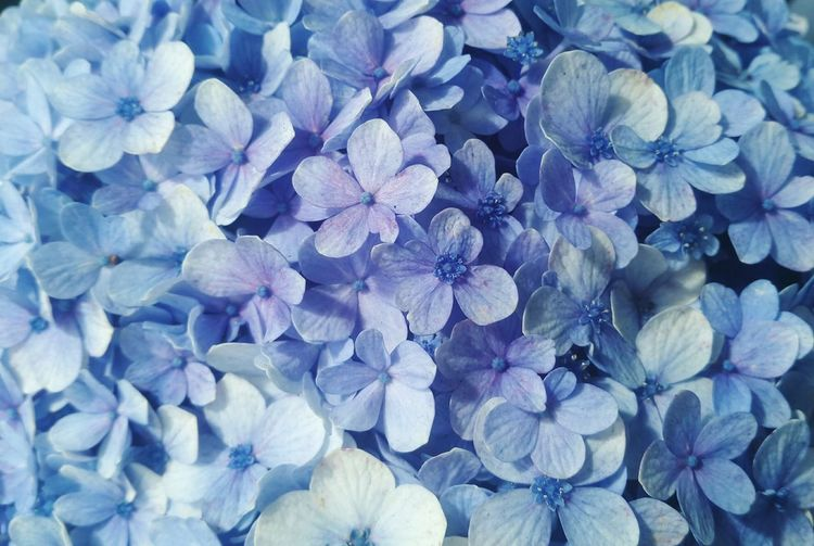 Nature Flower Purple Beauty In Nature Freshness Full Frame No People Fragility Backgrounds Close-up Flower Head Outdoors Hydrangea Day Blue