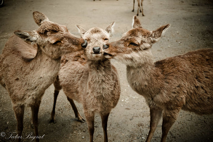 Affectionate Animals Animals Love Deer Love Nara Nara,Japan Nature