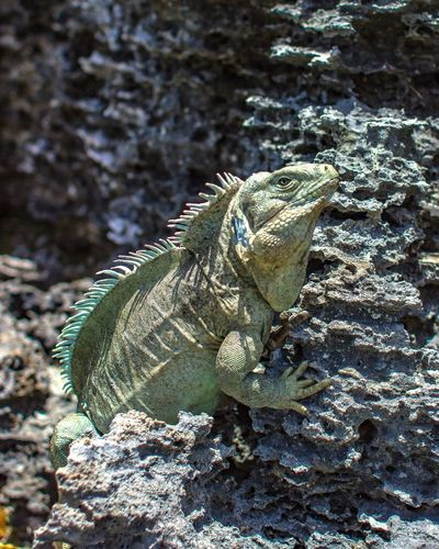 Iguana Island Iguana Close-up Wildlife Nature No People Green Color One Animal Animal Themes Animals In The Wild Travel Photography Rickeherbertphotography Turks And Caicos