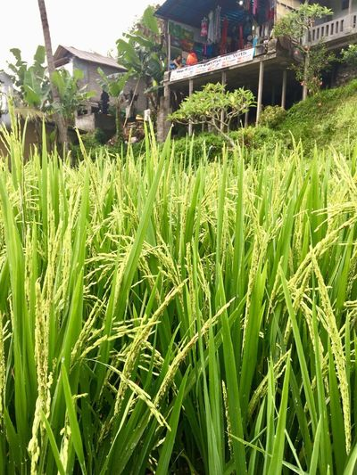 Source of income..🙂 Ricefield Tegalalang Ricefield Plant Growth Green Color Field Land Nature Day No People Landscape Architecture Rural Scene Beauty In Nature Outdoors Sunlight Building Exterior Built Structure Grass Crop  Cereal Plant Agriculture