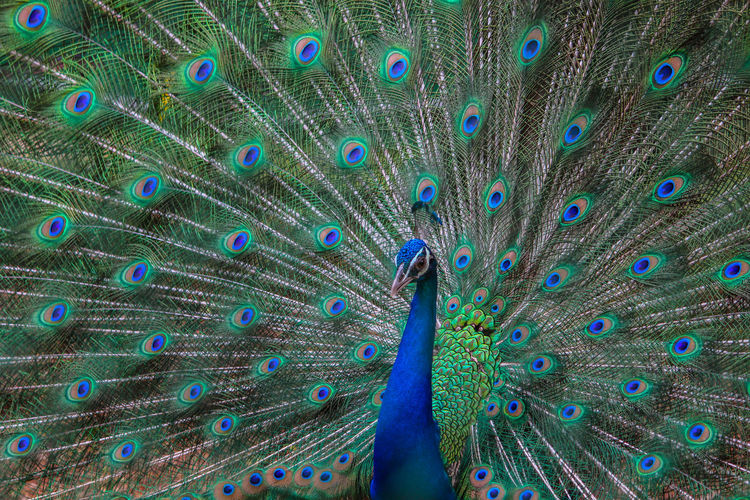 peacock dance Animal Themes Animal Wildlife Animals In The Wild Beauty In Nature Bird Blue Close-up Day Fanned Out Feather  Horizontal Nature No People One Animal Outdoors Peacock Peacock Feather