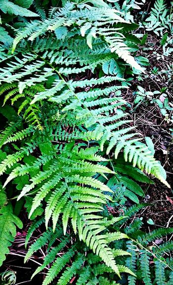 Ferns...~ In Portland Maine USA Happiness Nature_perfection No People Tranquility Beauty In Nature Springtime Nature Lover Color Of Life Loving The Landscape Garden Plants Leaf Backgrounds Full Frame Fern Close-up Green Color Plant Plant Life Greenery Leaves Lush Spring Growing Leaf Vein Frond